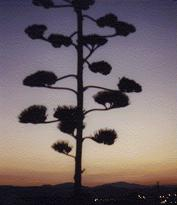 Spanish attractions in Malaga. Agave growing in front of the Malaga airport.